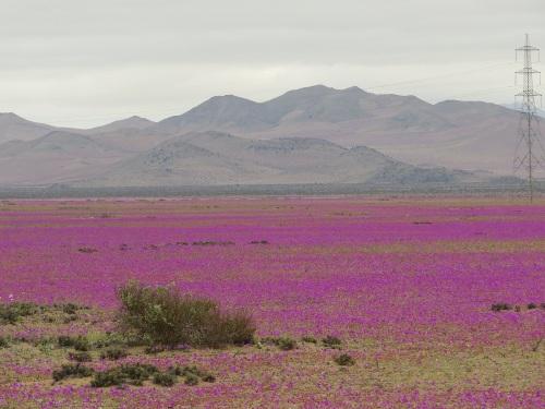 desierto-florido-norte-chico-chile